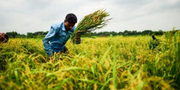 Bangladeshi farmers harvest rice in a field in Manikganj on the outskirts of Dhaka on August 27, 2018.