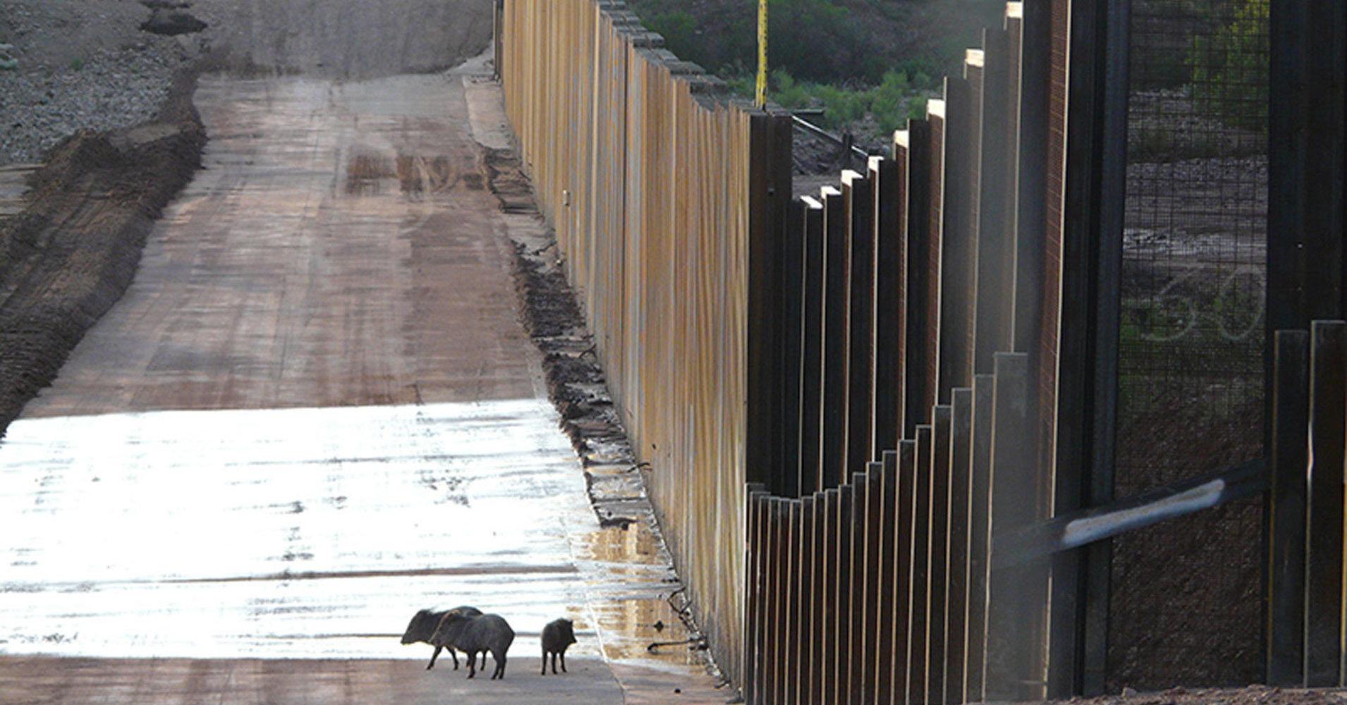 Javelinas near the U.S. Mexico border