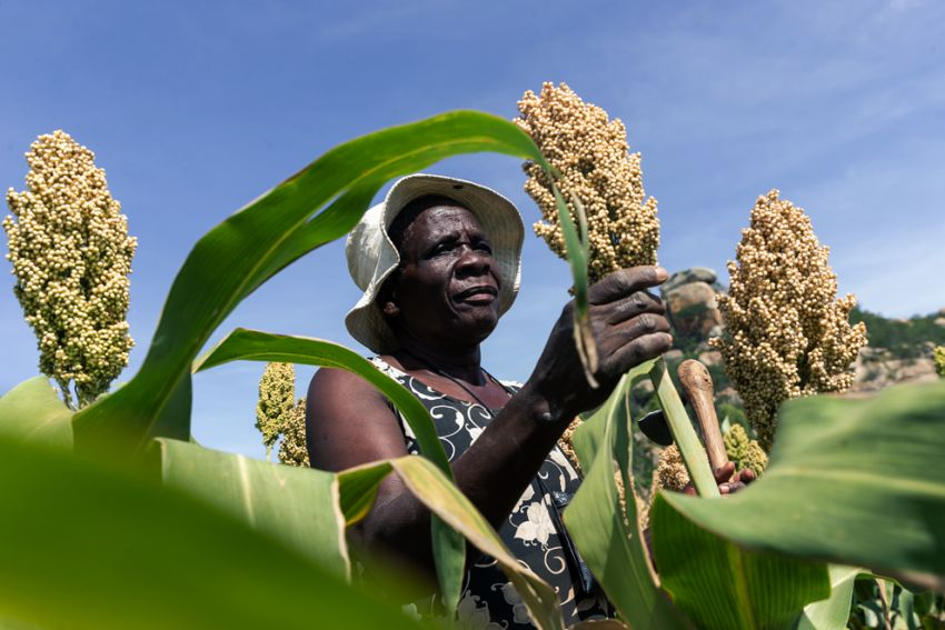A sorghum farmer inspects her small grains crop thriving in the dry conditions in March in the Mutoko rural area of Zimbabwe